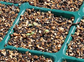 キク科ムギワラギク属の多年草で、学名は Helichry